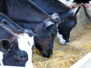 Nutrition is one important factor in organic dairy systems. Photo: Thinkstock