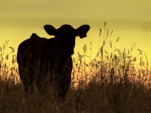 Beef Quality Assurance, a training program that has been voluntary will become mandatory beginning in Jan. 19 for suppliers to Wendy's and Tyson Foods. (Photo: Thinkstock)