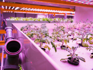 Tomato plants grown in an aquaponics system, which combines fish aquaculture with hydroponics to cultivate plants in water under artificial lighting. Photo: Getty Images.