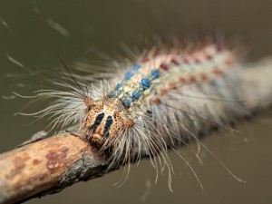 A gypsy moth in the larval stage. Photo: Getty Images.