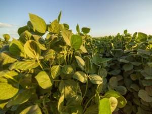 Soybeans. Photo: Thinkstock.