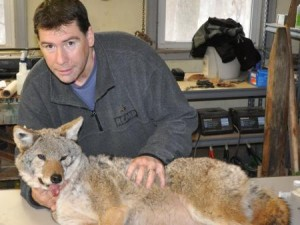 Stan Gehrt, a wildlife ecologist at Ohio State University, inspects a coyote captured in the greater Chicago area as part of a long-running study on this increasingly common urban resident. (Photo courtesy of Stan Gehrt.)