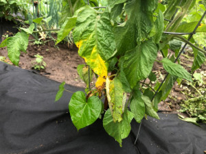 Discolored leaves such as this, suggest fungal disease in this tomato plant. The leaves need pruned with sterilized pruners and then discarded into the garbage and not the compost pile. Photo curtesy of Timothy McDermott.