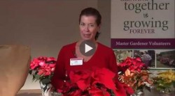 How To Keep Your Poinsettia Looking Its Best