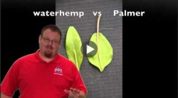 Amaranthaceae (Pigweed) Identification