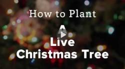 How to Plant a Live Christmas Tree